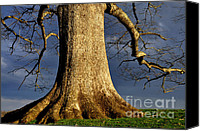 Quercus Canvas Prints - Standing Strong Oak Tree and Storm Clouds Canvas Print by Thomas R Fletcher