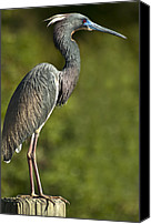 Aves Canvas Prints - Standing Tall Canvas Print by Carolyn Marshall