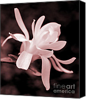 Pink Flower Branch Canvas Prints - Star Magnolia Flower Pink Tone Canvas Print by Jennie Marie Schell