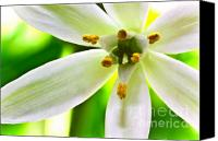 (c) 2010 Canvas Prints - Star of Bethlehem Grass Lily Canvas Print by Ryan Kelly