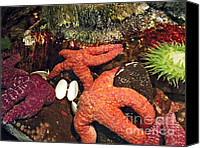 2hivelys Art Canvas Prints - Starfish Medley Canvas Print by Methune Hively