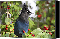 Red Berries Canvas Prints - Stellers Jay and Red Berries Canvas Print by Teresa Zieba