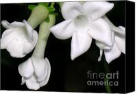 Molokai Canvas Prints - Stephanotis Canvas Print by James Temple