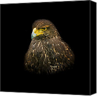 Feathers Canvas Prints - Steppe Eagle Canvas Print by Bill  Wakeley
