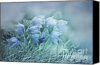 Crocus Canvas Prints - Stick Together Canvas Print by Priska Wettstein