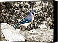 Living On The Edge Digital Art Canvas Prints - Stone Blue Jay Canvas Print by Debra     Vatalaro
