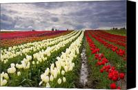 Vernon Canvas Prints - Storm over Tulips Canvas Print by Mike  Dawson