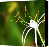 Spider Lily Canvas Prints - Strange Beauty Canvas Print by Melanie Moraga