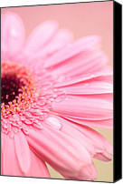 Flower Photograph Canvas Prints - Strawberry Vanilla swirl Canvas Print by Nastasia Cook