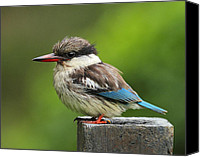 Kingfisher Canvas Prints - Striped Kingfisher Canvas Print by Tony Beck
