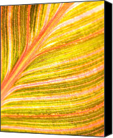 Canna Canvas Prints - Striped Leaf Canvas Print by Bonnie Bruno