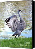 Prancing Canvas Prints - Strutting Sandhill Crane Canvas Print by Carol Groenen