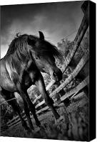Arabians Canvas Prints - Stud N Contrast Canvas Print by Emily Stauring