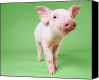 Pig Photo Canvas Prints - Studio Cut Out Of A Piglet Standing Canvas Print by Digital Vision.