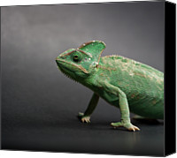 Chameleon Canvas Prints - Studio Shot Of Chameleon Canvas Print by Sarune Zurba
