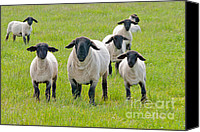 Shorn Sheep Canvas Prints - Suffolk Sheep Canvas Print by Margaret S Sweeny