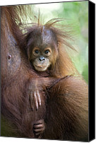 Primates Canvas Prints - Sumatran Orangutan 9 Month Old Baby Canvas Print by Suzi Eszterhas