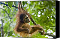 Orangutan Photo Canvas Prints - Sumatran Orangutan Pongo Abelii Baby Canvas Print by Suzi Eszterhas