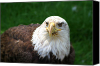 Bald Eagle Canvas Prints - Summer Bald Eagle  Canvas Print by Karol  Livote