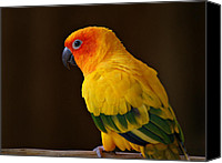 Parrots Canvas Prints - Sun Conure Parrot Canvas Print by Sandy Keeton