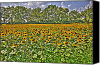 Boogie Canvas Prints - Sun Flowers Canvas Print by Nicholas  Grunas