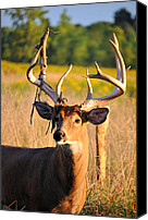 Whitetail Buck Canvas Prints - Sun Stripped Canvas Print by Emily Stauring