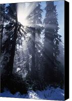 Selection Canvas Prints - Sunbeams Through Pine Trees Canvas Print by Natural Selection Craig Tuttle