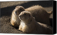 Prairie Dog Photo Canvas Prints - Sundown Canvas Print by Trish Tritz