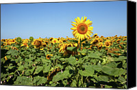 Crowd Scene Canvas Prints - Sunflower Canvas Print by Billy Currie Photography