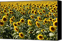 Jonathan Schreiber Canvas Prints - Sunflower Bliss Canvas Print by Jonathan Schreiber