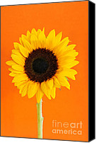 Decoration Photo Canvas Prints - Sunflower closeup Canvas Print by Elena Elisseeva