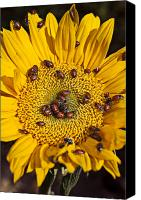 Insects Canvas Prints - Sunflower covered in ladybugs Canvas Print by Garry Gay