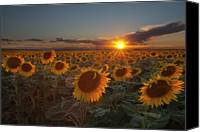 Cloud Glass Canvas Prints - Sunflower Field - Colorado Canvas Print by Lightvision, LLC
