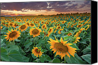 Growth Photo Canvas Prints - Sunflower Field In Longmont, Colorado Canvas Print by Lightvision