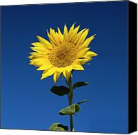 Floral Canvas Prints - Sunflower Canvas Print by Fotografias de Rodolfo Velasco