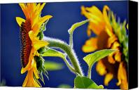 Summer Scenes Canvas Prints - Sunflower Fuzz Canvas Print by Emily Stauring