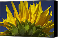 Blossom Canvas Prints - Sunflower Canvas Print by Garry Gay