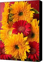 Chrysanthemums  Canvas Prints - Sunflowers and red mums Canvas Print by Garry Gay