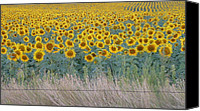 Estephy Sabin Figueroa Photo Canvas Prints - Sunflowers Behind Barbed Wire Canvas Print by Estephy Sabin Figueroa