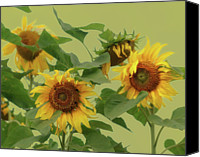 Gulf Coast States Canvas Prints - Sunflowers Canvas Print by Photo by James Keith