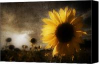 Steve Sharp Canvas Prints - Sunflowers Canvas Print by Steve Sharp