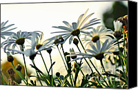 White Daisy Canvas Prints - Sunlight behind the Daisies Canvas Print by Kaye Menner