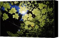 Selection Canvas Prints - Sunlight Through Maple Leaves Canvas Print by Natural Selection Craig Tuttle