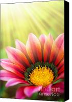 Blossom Canvas Prints - Sunny Daisy Canvas Print by Carlos Caetano