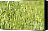 Produce Canvas Prints - Sunny day at the oat field Canvas Print by Christine Till