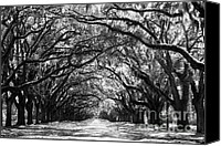 Live Oaks Canvas Prints - Sunny Southern Day - Black and White Canvas Print by Carol Groenen