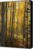 Yellow Trees Canvas Prints - Sunshine Grove Canvas Print by Dana Kern