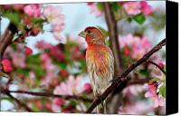 Finches Canvas Prints - Surrounded Canvas Print by Betty LaRue