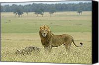 Animals Canvas Prints - Surveying His Kingdom Canvas Print by Michele Burgess