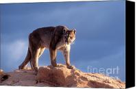 Mountain Lion Canvas Prints - Surveying the Territory Canvas Print by Sandra Bronstein